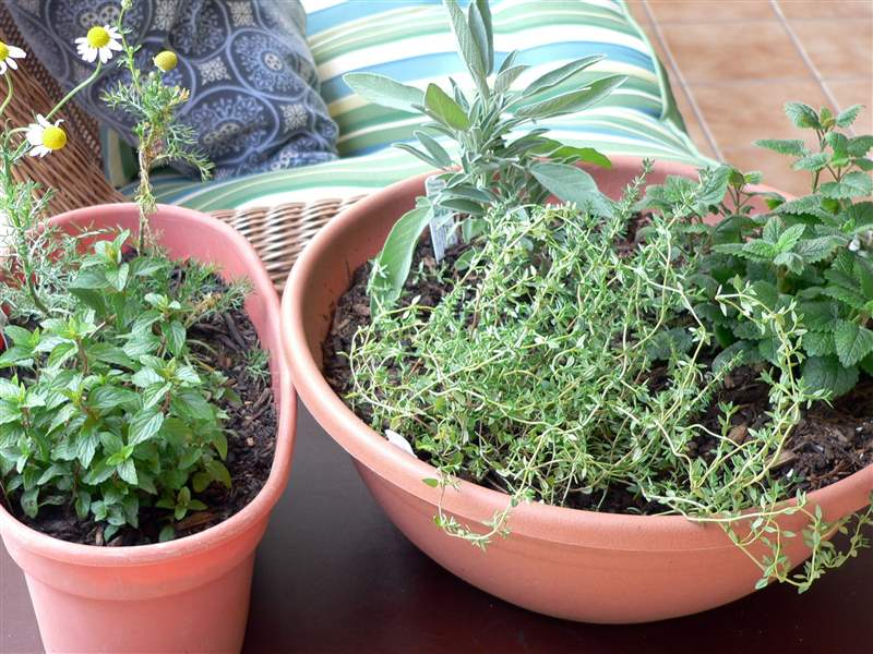 A-medicinal-indoor-herb-garden-for-healthful-herbs